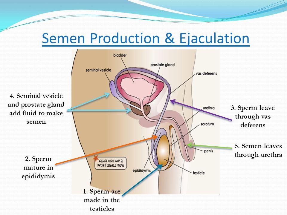 Semen Production & Ejaculation
